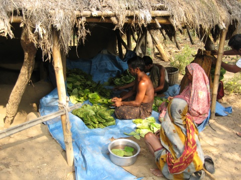 Betel leaves being washed and packed